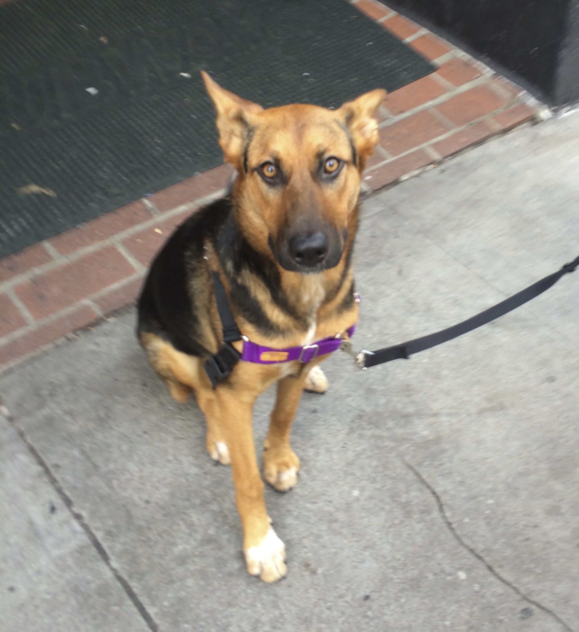 Adolescent German Shepherd Mix Sitting And Looking At The Camera
