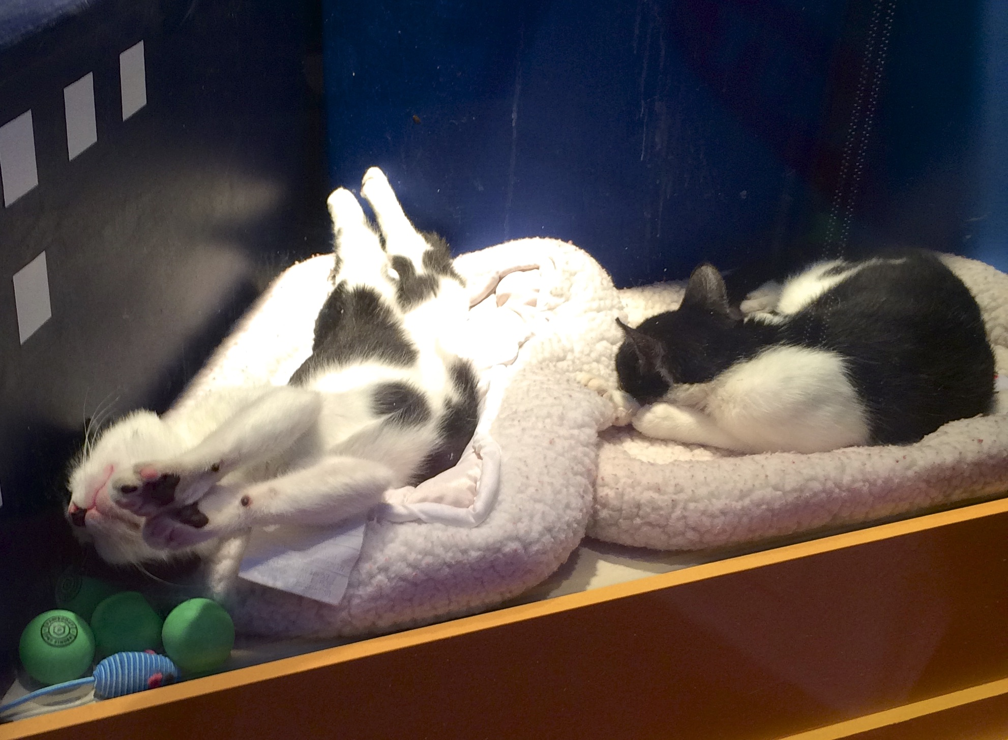 Two Sleeping Tuxedo Cats, One In A Ridiculous Position