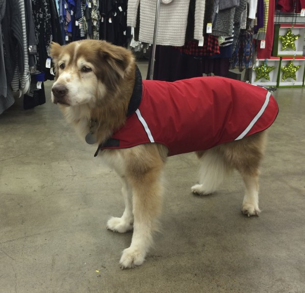 Red And White Husky Mix In A Red Jacket