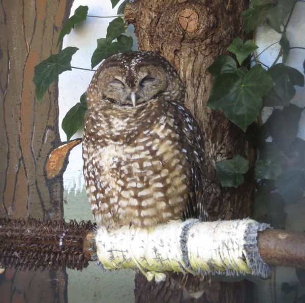 Sleeping Burrowing Owl