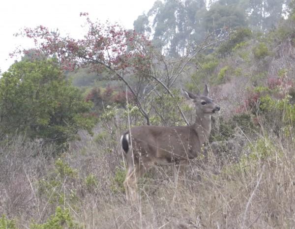 Female Black-Tailed Deer In Brush