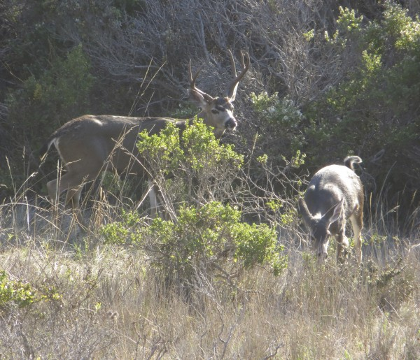 Black-Tailed Deer: Buck With Antlers And Doe