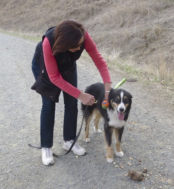 Woman Fastening Leash To Tricolor Australian Shepherd