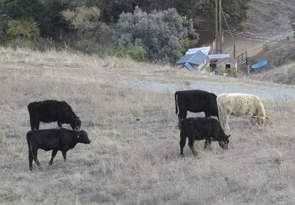Four Black Cows And One Blond One