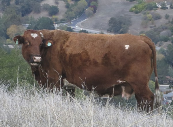 Red Cow With White Blaze On Forehead