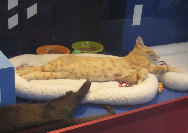 Marmalade Tiger Tabby Kitten Sleeping Sprawled Out On Two Cat Beds