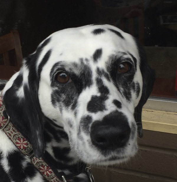 Dalmatian Looking Very Serious