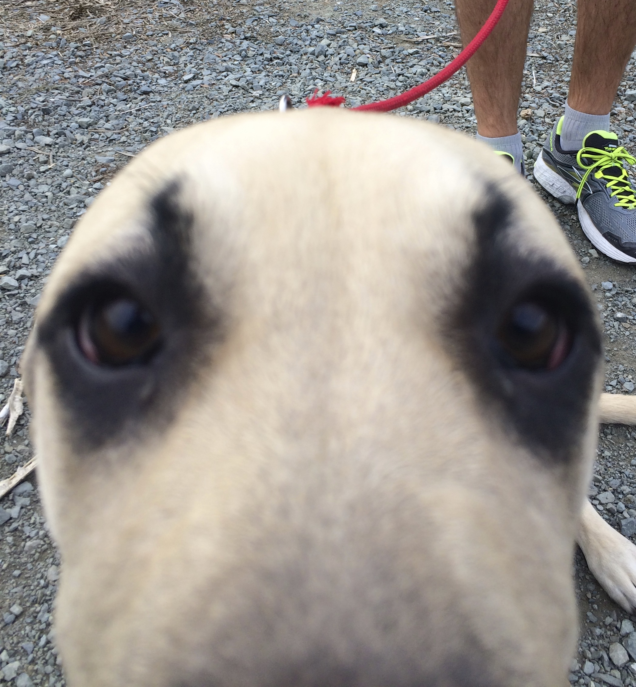 Black-Mouth Cur Puppy Staring Into The Camera