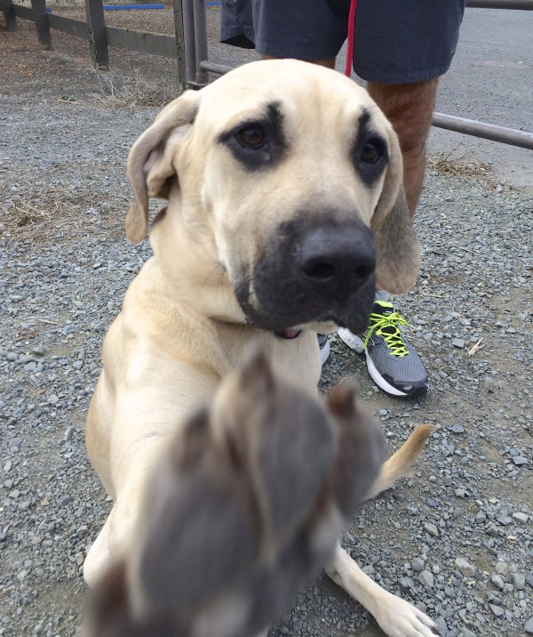 Black-Mouth Cur Puppy Batting At The Camera With Her Paw