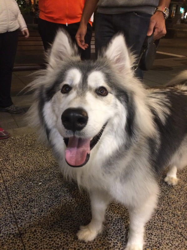 Happy Fluffy Malamute Smiling