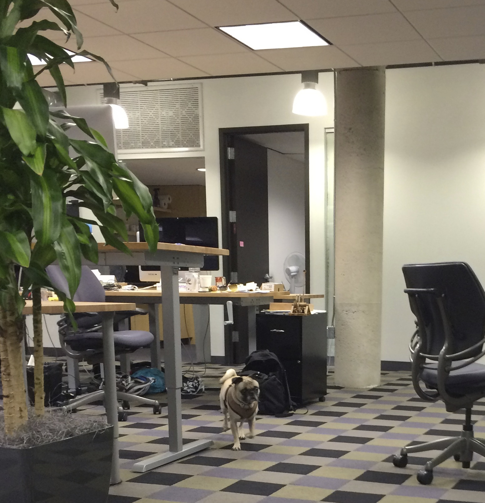 Pug In An Office Environment