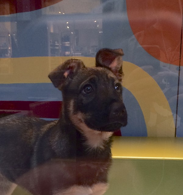 Black And Tan German Shepherd Mix Puppy With Crumpled Ears And Plaintive Expression