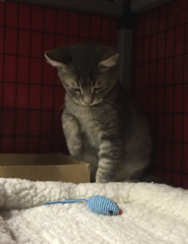Grey Tiger Tabby Kitten Standing Over Toy Mouse