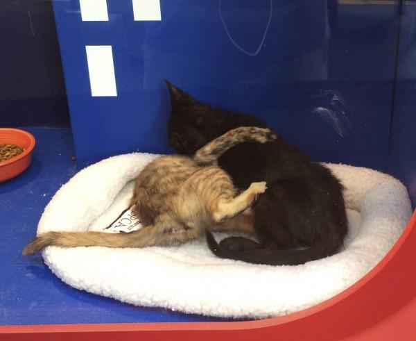 Black Kitten and Tortoiseshell Kitten Wrestling