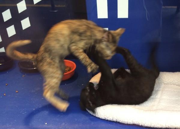 Tortoiseshell Kitten Pouncing On Black Kitten