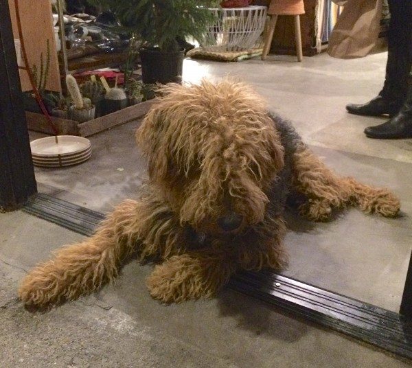 Fuzzy Airedale Terrier In A Store Doorway