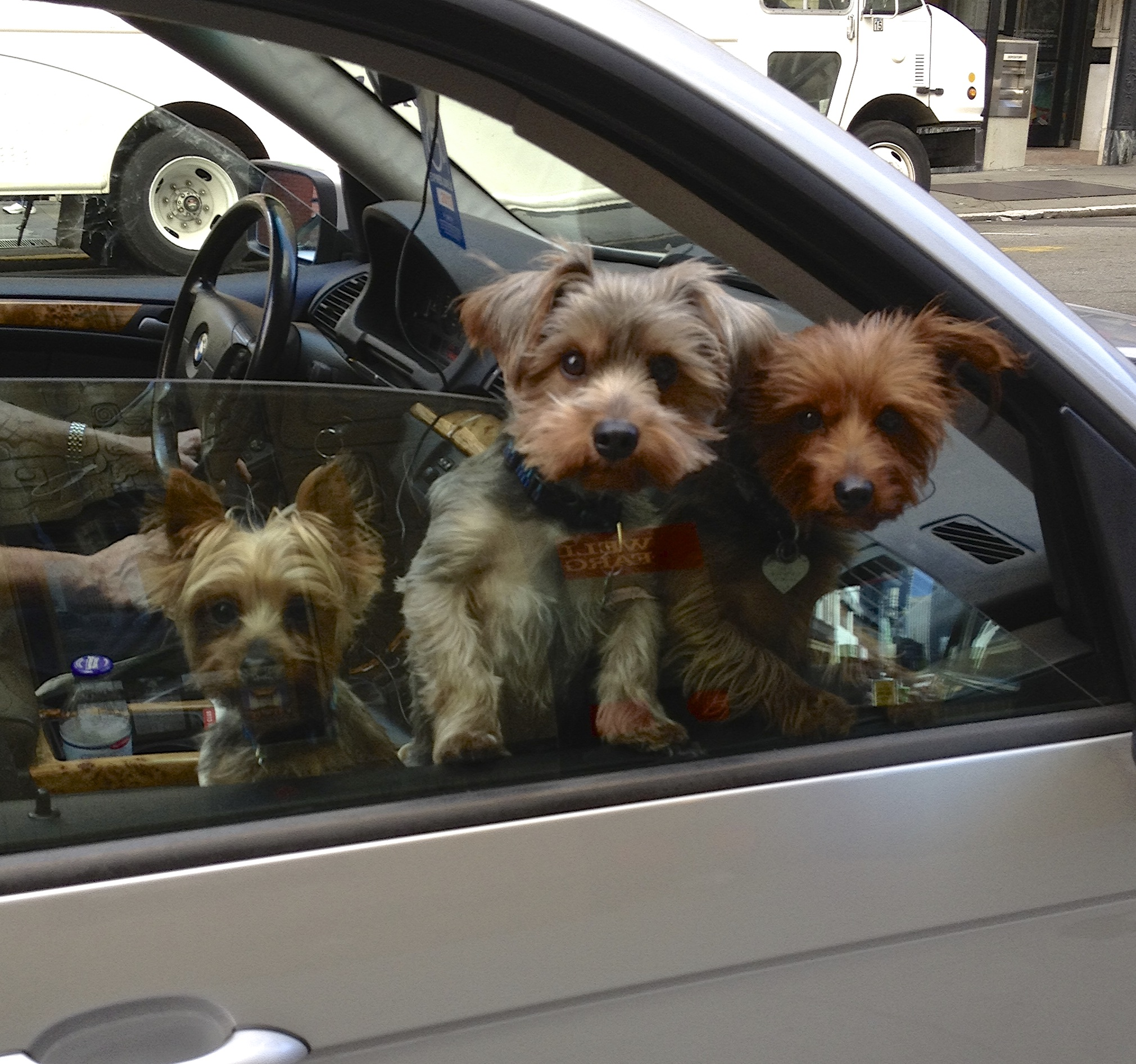 Three Yorkshire Terriers In A Car Window