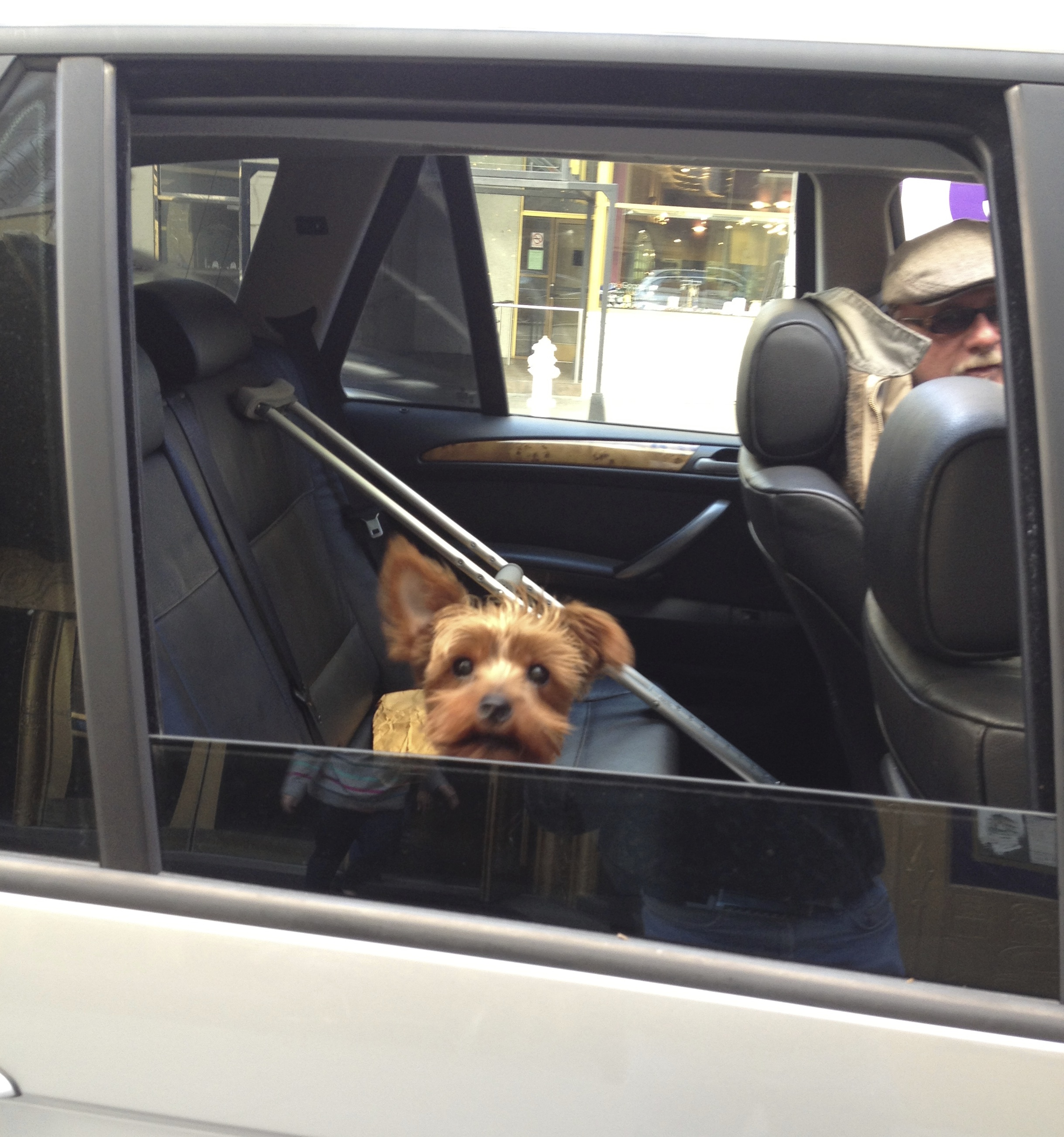 Yorkshire Terrier In A Car Window