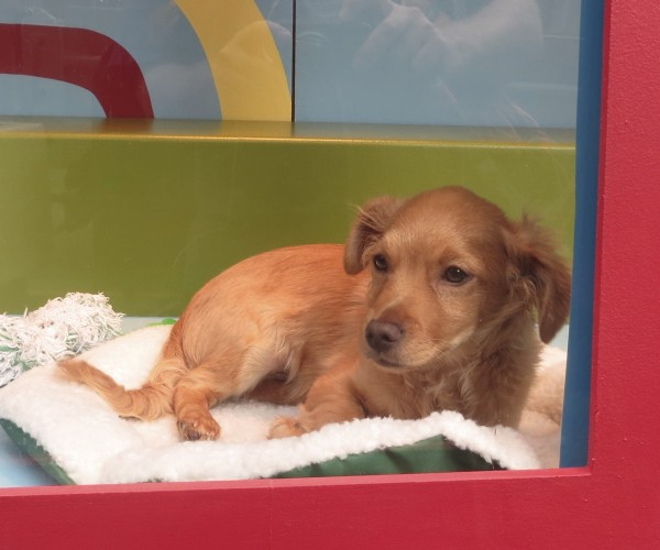 Brown Chihuahua Mix In A Window