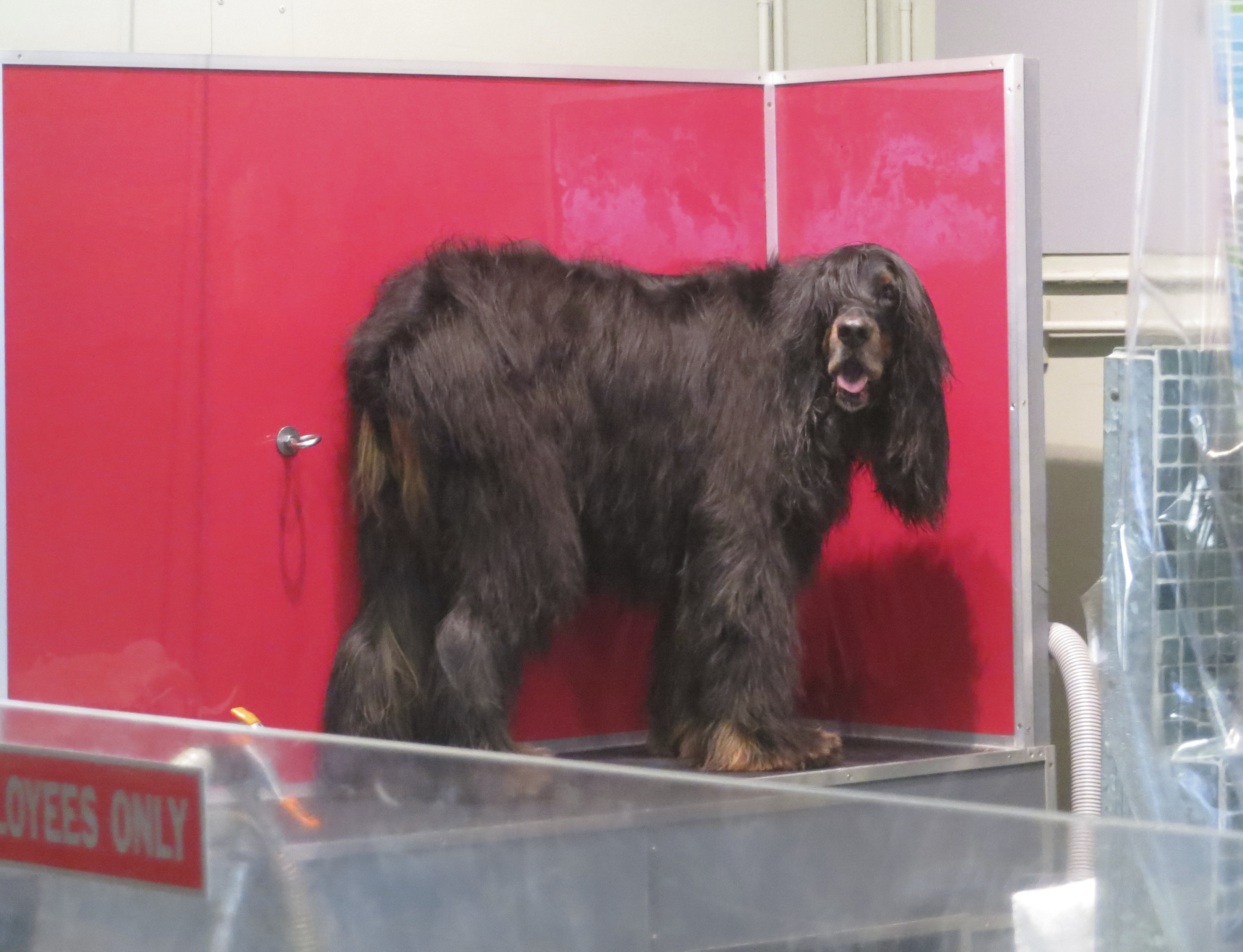 Gordon Setter Who Has Not Been Trimmed In Months