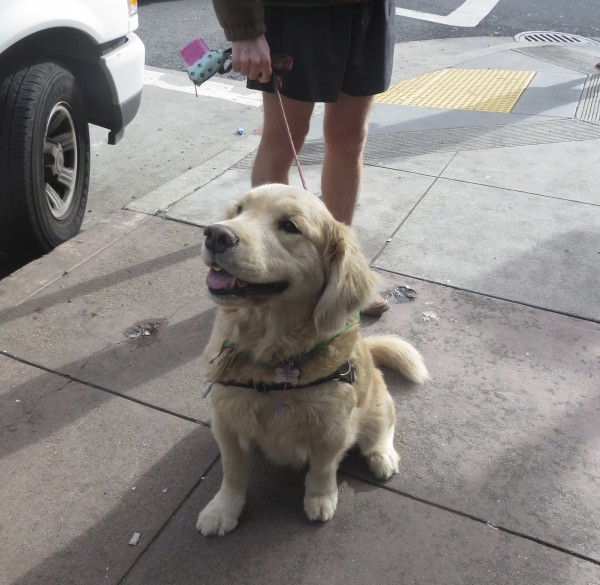 Golden Retriever Sitting And Grinning