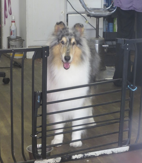 Blue Merle Collie In A Grooming Parlor