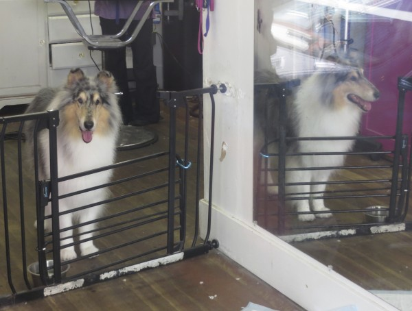 Blue Merle Collie Standing Next To A Mirror