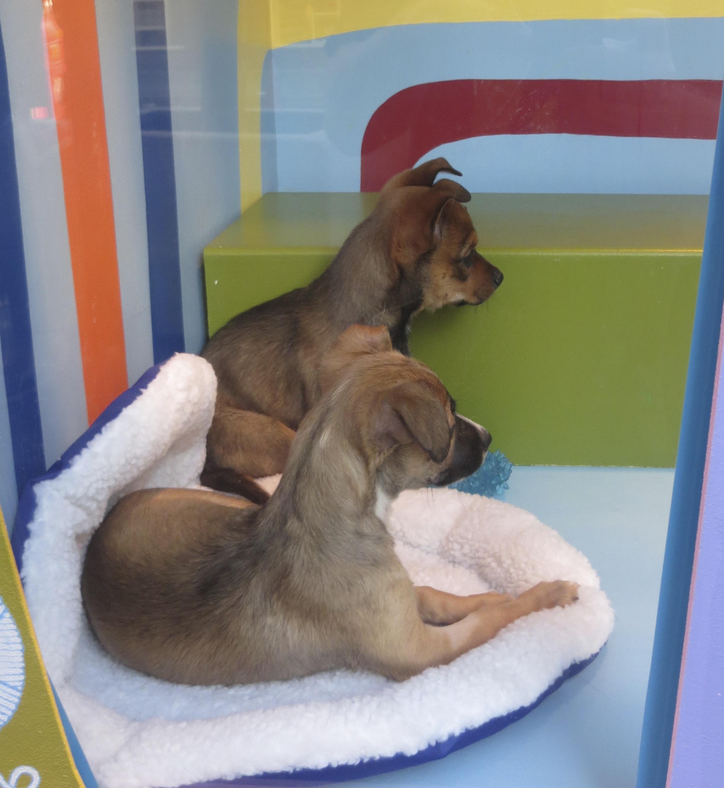 Two German Shepherd Mix Puppies