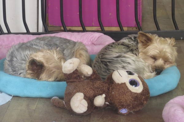 Two Sleeping Yorkshire Terriers And a Stuffed Animal On A Dog Bed
