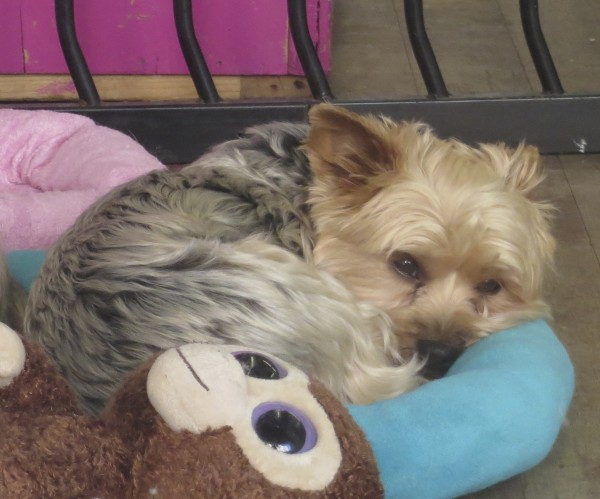 Yorkshire Terrier Curled Up On A Dog Bed