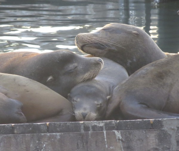 Sea Lions Sleeping On Top Of One Another On Pier 39 In San Francisco
