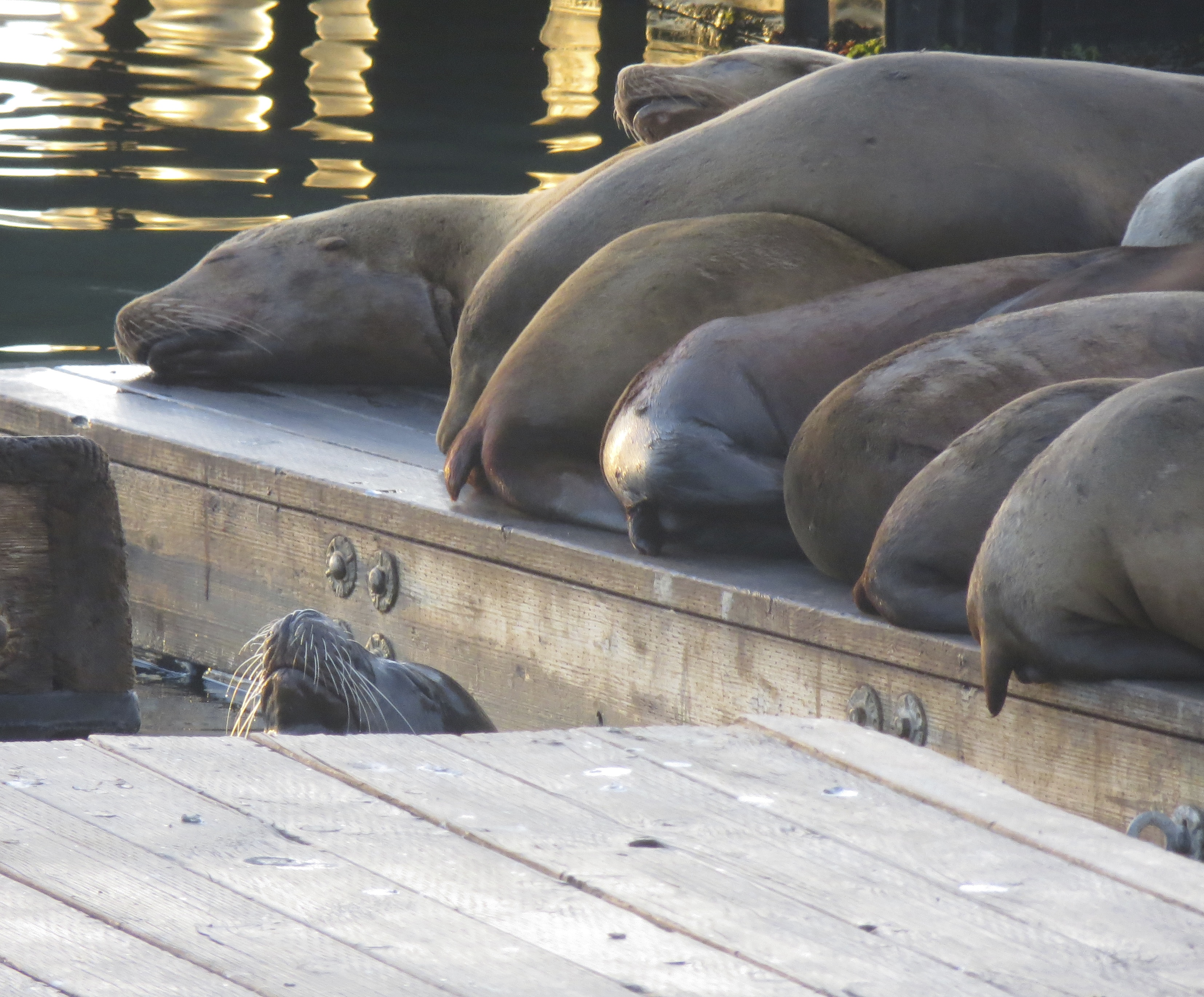 Row Of Sea Lion Tails On Pier 39 San Francisco