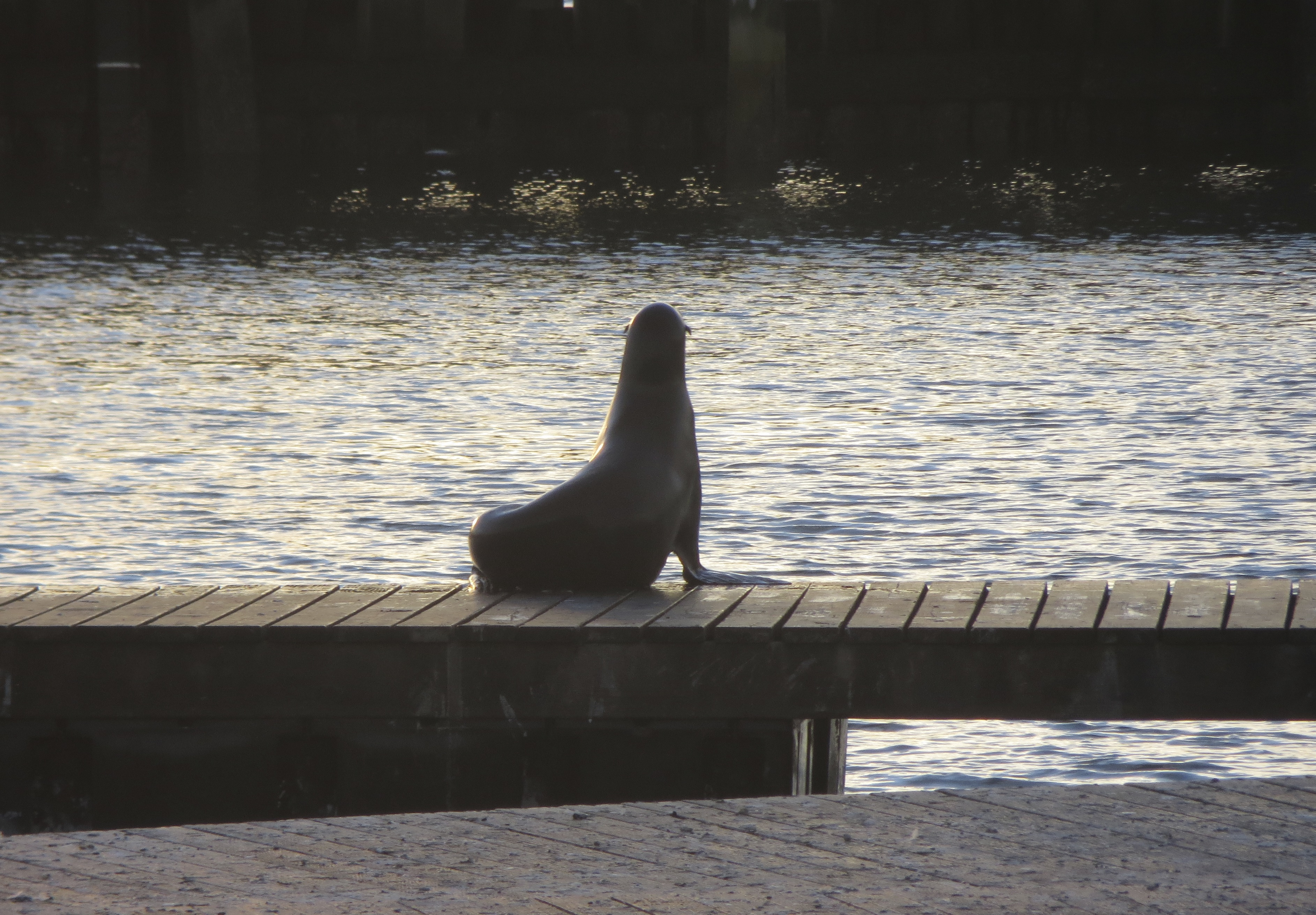 Silhouette Of A Sea Lion, Pier 39, San Francisco