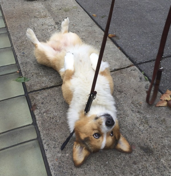 Red And White Pembroke Welsh Corgi Lying On His Back And Showing His Adorable Belly