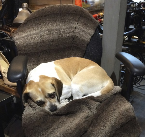 Puggle Curled Up In A Chair