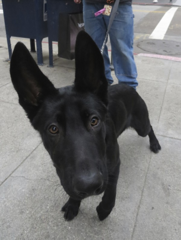 Young Black German Shepherd With Humongous Ears Staring Curiously Into Camera