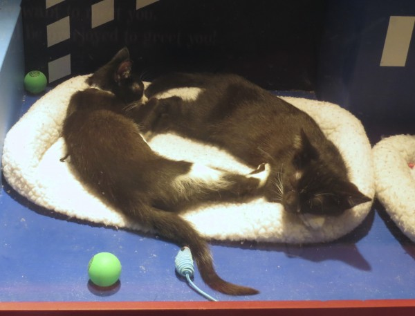 Two Tuxedo Kittens Sleeping On A Cat Bed