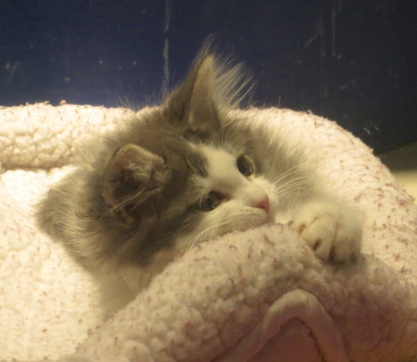 Grey And White Fluffy Kitten With Ridiculous Ear Hair Looking Wistful