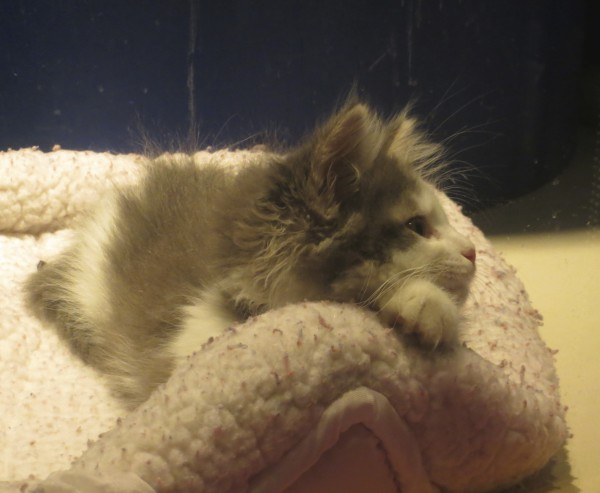 Grey And White Fluffy Kitten Looking Wistful