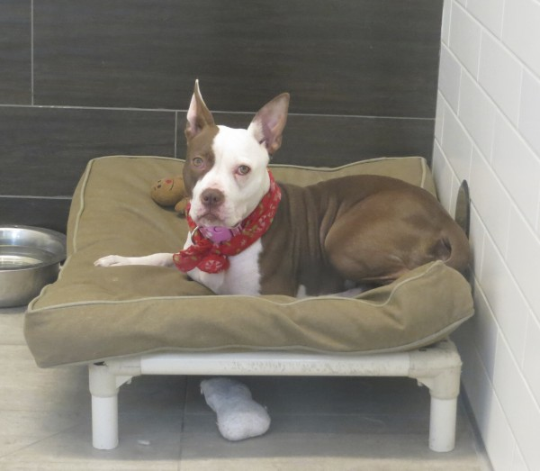 Brown And White Pit Bull Mix On A Dog Bed