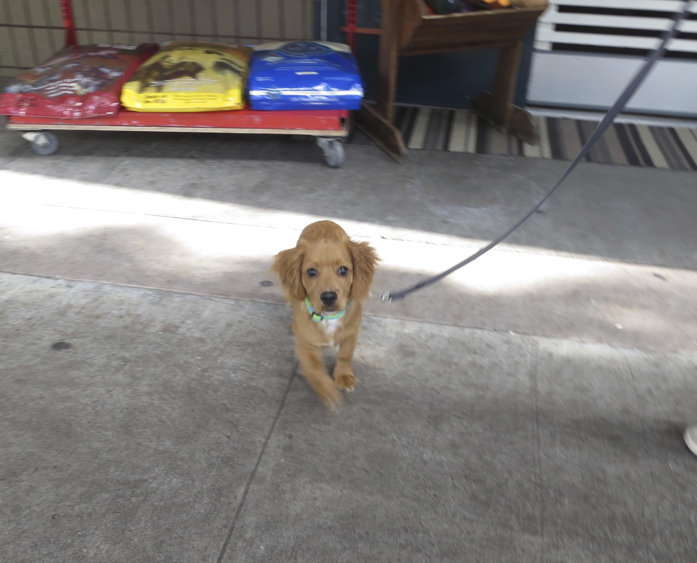 Cocker Spaniel Golden Retriever Mix Puppy