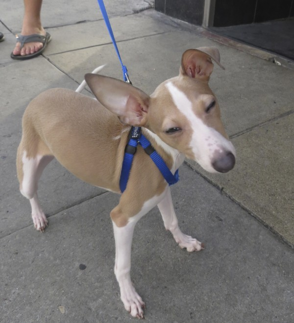 Tan And White Italian Greyhound With Eyes Almost Shut And One Ear Flopped Down And One Ear Up