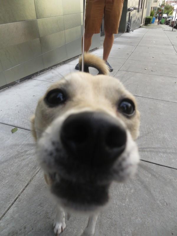 Shiba Inu Italian Greyhound Mix Poking Her Nose Into The Camera