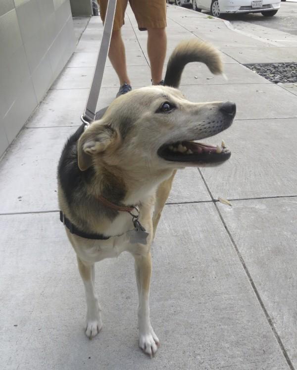 Very Happy Shiba Inu Italian Greyhound Mix Gazing Adoringly
