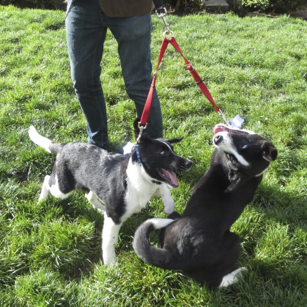 Two Black And White Border Collie Puppies Being Really Goofy And Silly