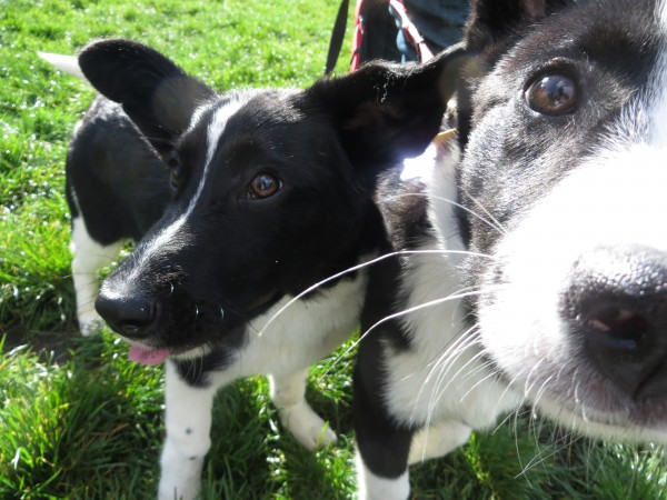 Two Black And White Border Collies, One Sniffing The Camera