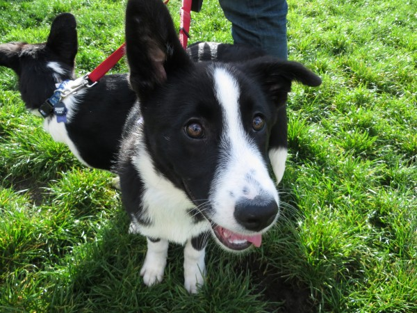 Black And White Border Collie Puppy With One Ear Down