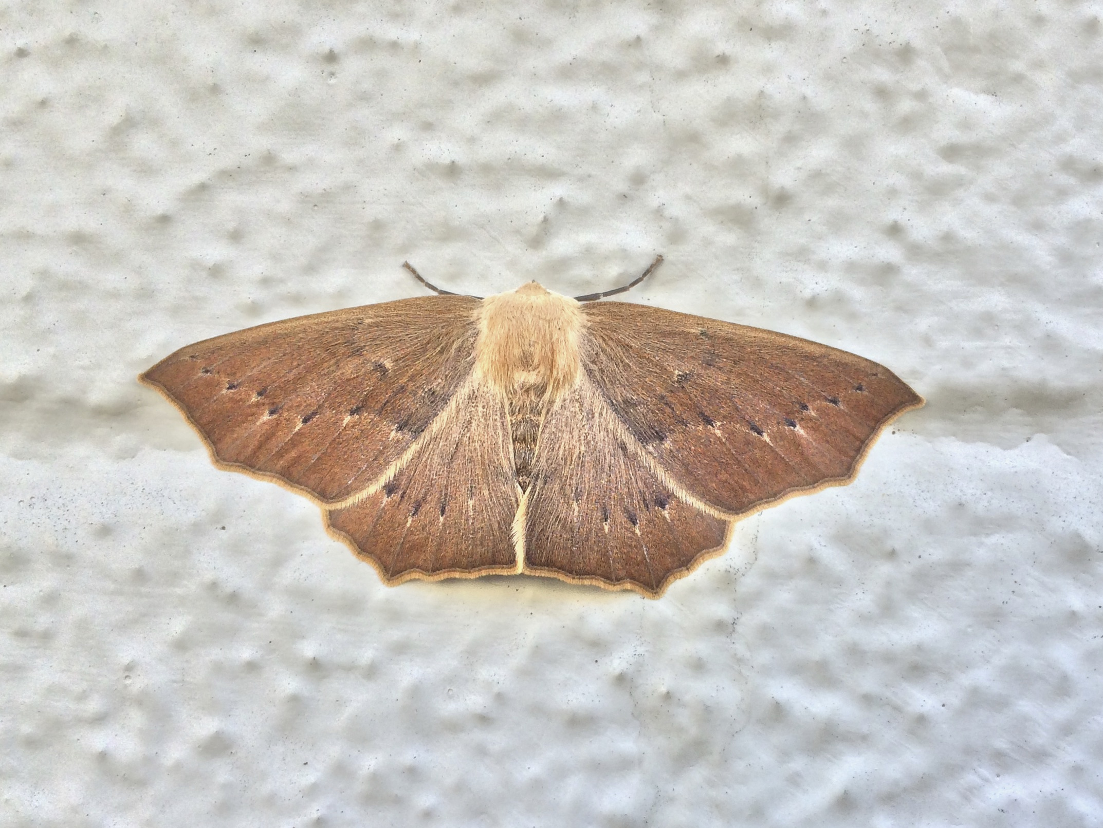 Brown Moth Of Some Kind