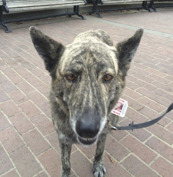 Brindled Australian Cattle Dog Mix With Huge Ears