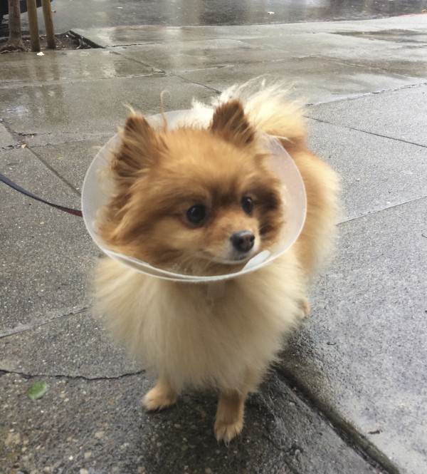 Tan Pomeranian In An Elizabethan Collar